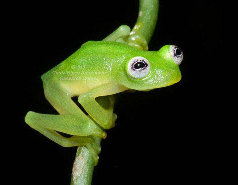 """La """"Hyalinobatrachium dianae"""" tiene grandes ojos con iris blanco y un hocico """"truncado en vista lateral y dorsal"""", características que recuerdan al famoso personaje René de Los Muppets."""