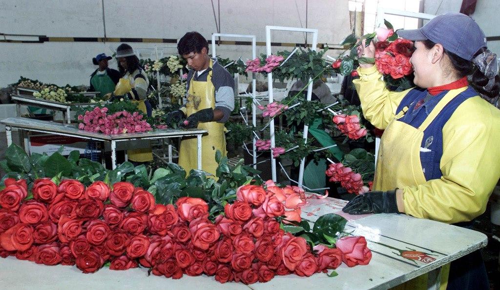 China importa desde Ecuador rosas valoradas en 1,3 millones de dólares. Foto: Archivo