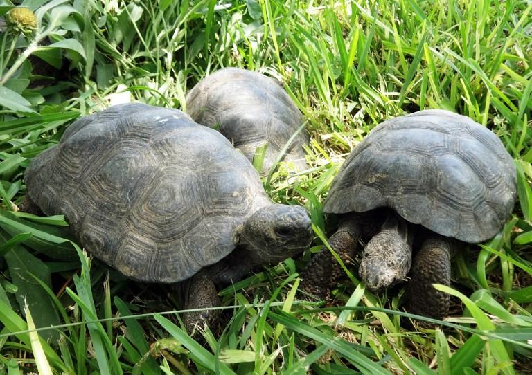 Perú: Rescatan 29 tortugas galápagos en peligro de extinción