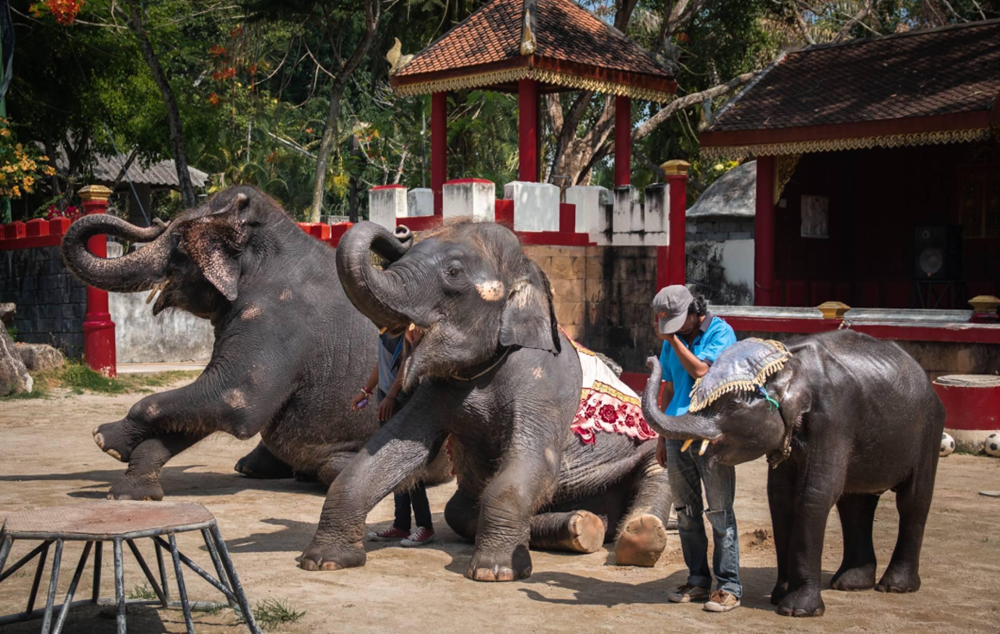 El desgarrador video del elefante bebé que bailó hasta morir