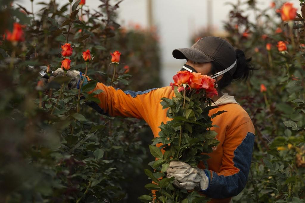 Las flores fueron embarcadas antes de tiempo y a precios por debajo de los pactados. Foto: AFP