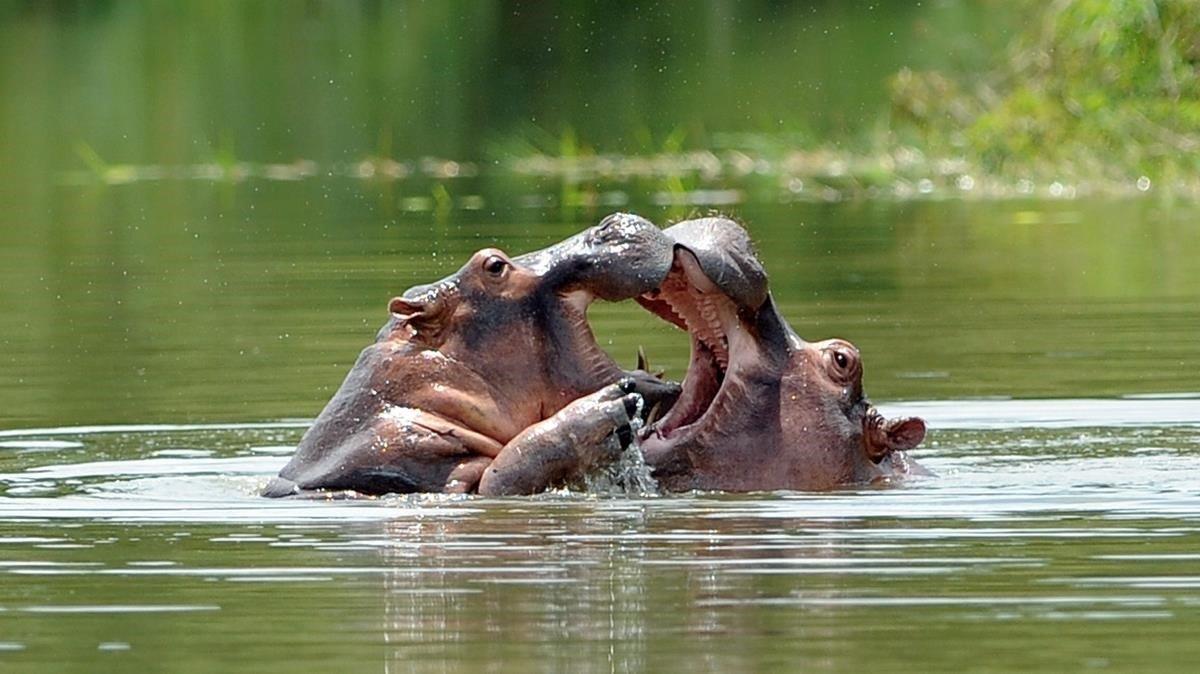 Los cuatro ejemplares que el narco importó para su zoológico se han convertido en la colonia más numerosa fuera de África. Foto: AFP.