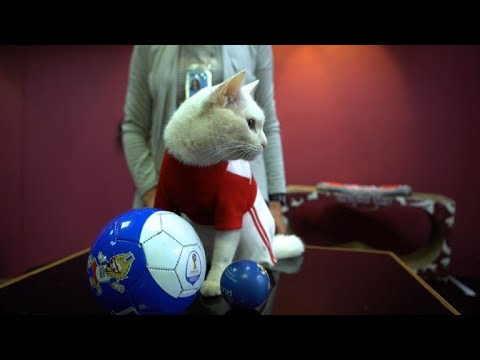 Gato Aquiles intentará emular al pulpo Paul en Rusia