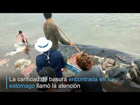 Cachalote hallado en Indonesia había ingerido 6 kg de plástico