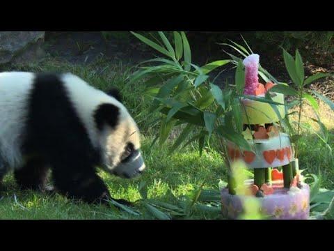 Bebé panda Yuan Meng celebra su primer  año en zoo francés