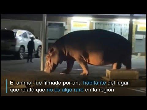 El paseo de un hipopótamo por las calles de una pequeña ciudad sudafricana | AFP