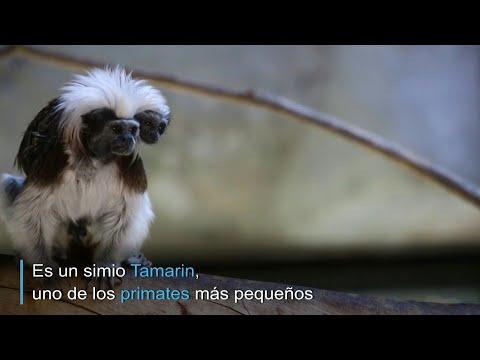 Nacimiento de simio Tamarin sorprende a zoo de Guadalajara | AFP