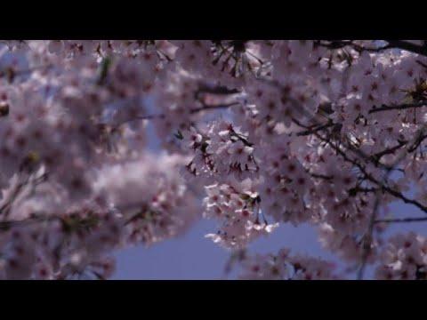 Predecir la floración de cerezos, importante misión en Japón