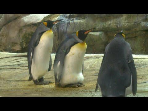 Pareja gay de pingüinos adopta un huevo en el zoo de Berlín | AFP