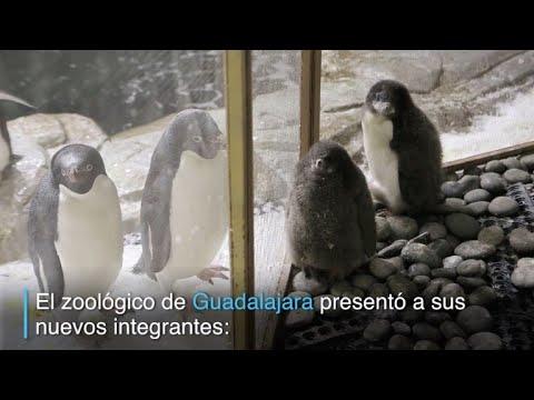 Nacen dos pinguinos en zoologico de México