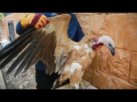 Nelson, un buitre sospechoso de espionaje en un Yemen en guerra