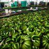 Los principales mercados del banano ecuatoriano como Rusia, Polonia, Inglaterra, Alemania, Francia, Italia y Europa del Este han reducido o parado las compras.