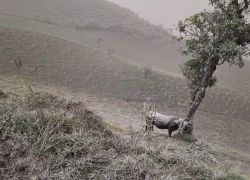 Zonas ganaderas y agrícolas resultaron afectadas con la caída de cenizas expulsadas del volcán Sangay.