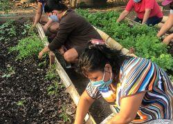 A través de talleres difundidos por ÉPICO y la supervisión de cultivos de la empresa Green Gap varias mujeres de Monte Sinaí han sembrado y comercializado varias hortalizas durante la pandemia. Fotos cortesía.