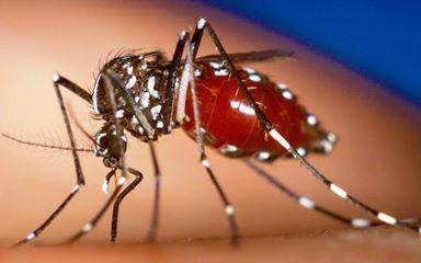 Aedes Aegypti, mosquito transmisor del dengue.