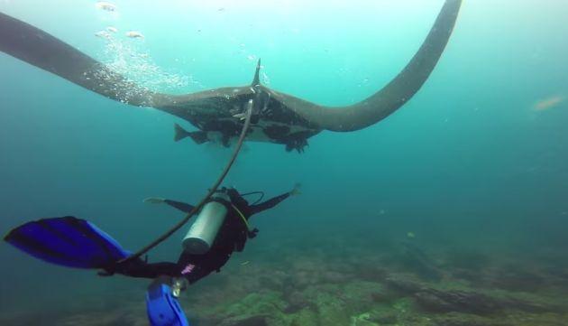 Las mantarrayas son animales marinos, un pez que vale la pena conocer.