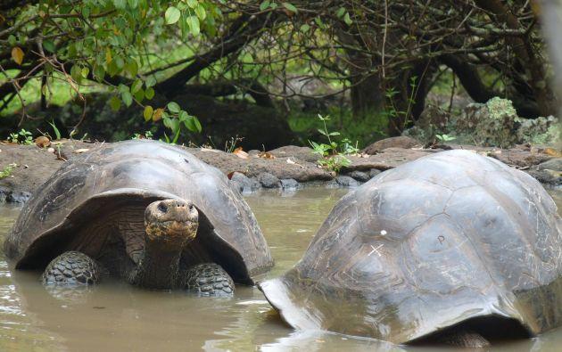 Tortugas Galápagos en 'La tortuguera' de la isla San Cristóbal. Foto: Thalíe Ponce