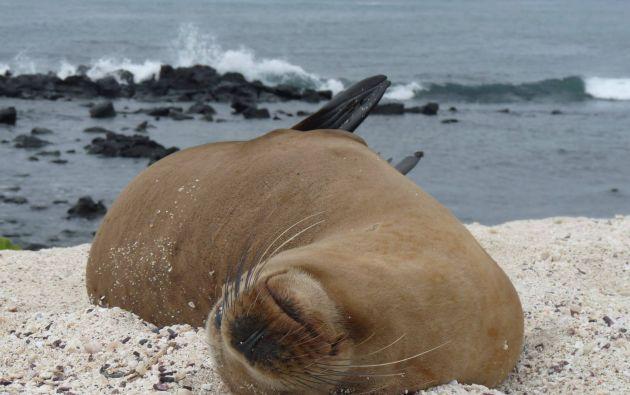 Los lobos marinos están presentes en todas las islas del archipiélago y en algunos islotes. Foto: Thalíe Ponce