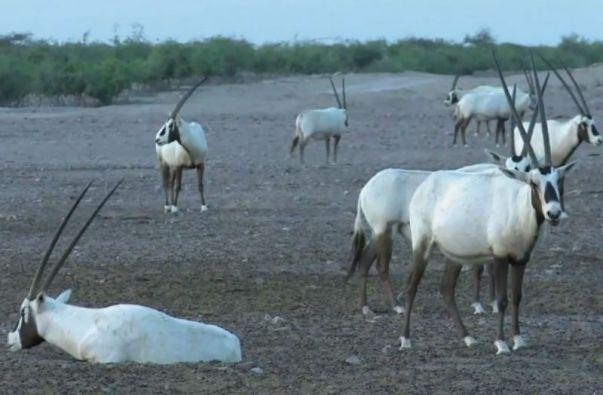 Sir Bani Yas cuenta con una de las poblaciones más importantes en el mundo de órices de Arabia, un animal que desapareció en estado salvaje en los 70.