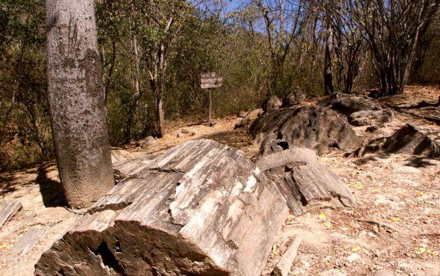 La existencia de árboles petrificados en el Puyango se descubrió en 1971. Foto: Archivo Vistazo