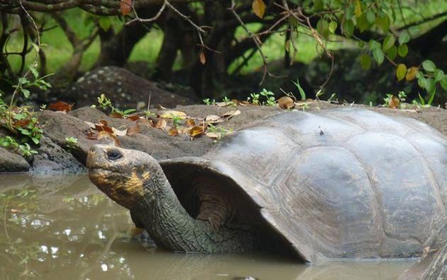 Las tortugas Galápagos son una especie emblemática de las islas. Foto: Thalíe Ponce