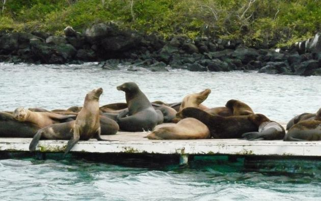 Los leones marinos de Galápagos atraen a los turistas porque no le temen a los humanos y conviven pacíficamente. Foto: Thalíe Ponce