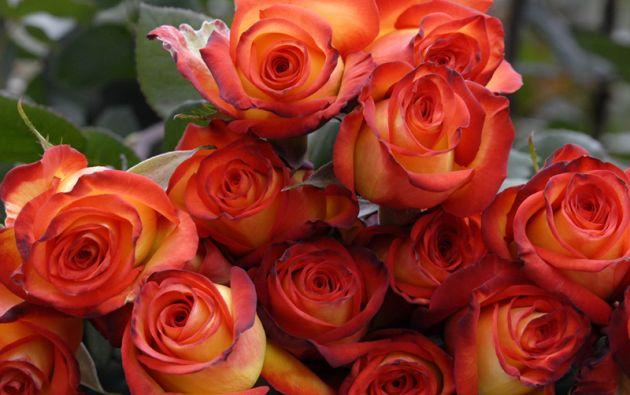 """Al igual que el Día de las Madres o Día de Difuntos, el """"Día del Amor y la Amistad"""" representa una gran oportunidad para el sector de las floricultor. Foto: Archivo"""