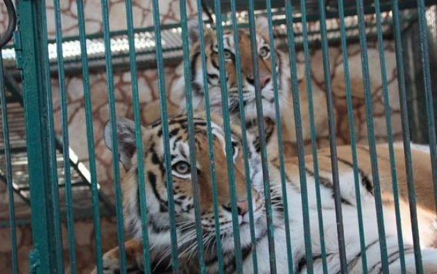 Dos ejemplares de tigres que vivían en el zoológico. Foto: Twitter.