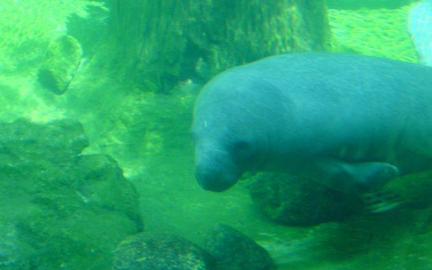 """Algunos de estos animales, conocidos como """"vacas de mar"""", son comunes en las aguas de Florida."""