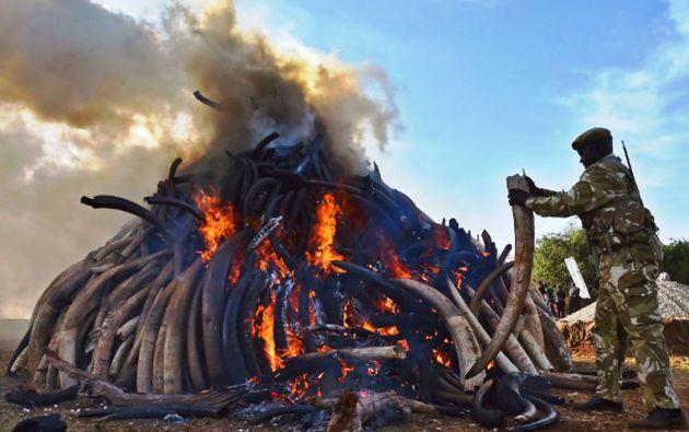 El presidente de Kenia prometió destruir todos los arsenales de colmillos de elefantes africanos para final de año. Foto: AFP