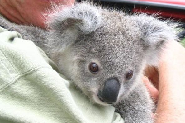 Foto: Fundación Australian Koala