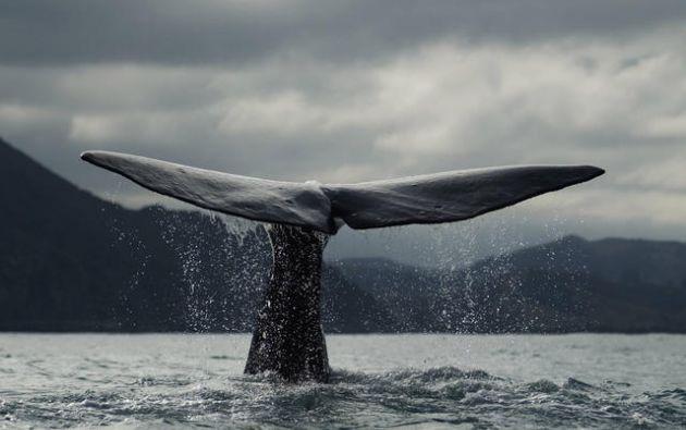 La investigación australiana-neozelandesa utilizó sonoboyas direccionales para registrar los cánticos de los cetáceos. Foto: World Wildlife Foundation