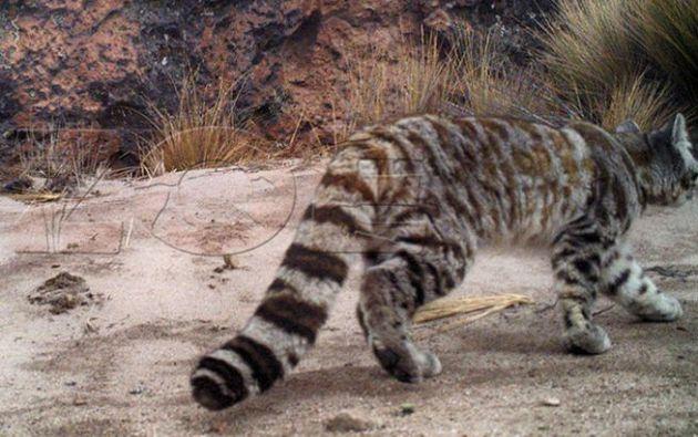 Cámaras trampa captan primeras imágenes de gato andino en reserva de Arequipa. Foto: Asociación para la Investigación y Conservación ZOE
