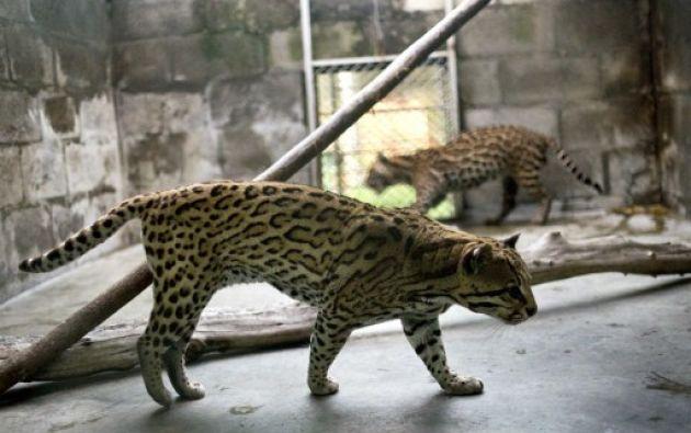 Los 149 especímenes, 83 reptiles, 53 aves y 13 mamíferos, fueron embarcados en cajas de madera en el departamento del Valle del Cauca. Fotos: AFP.