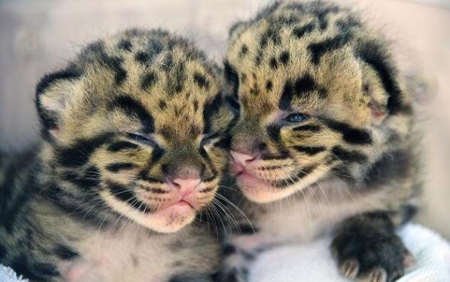 Los cachorros, ambas hembras, nacieron el 9 de marzo y desde entonces han permanecido con su madre en un espacio cerrado del zoológico.
