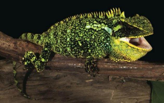 Los lagartos descubiertos pertenecen al género Enyalioides.