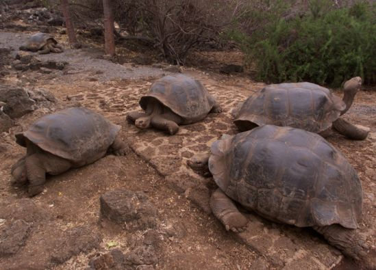 Investigadores comprobaron que pasaban más tiempo consumiendo especies no nativas de las islas que las originales. Foto: Archivo Vistazo