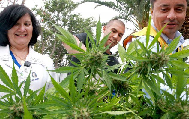La primera cosecha de cannabis con fines medicinales de América Latina será destinada a tratar a enfermos con cáncer. Foto: REUTERS