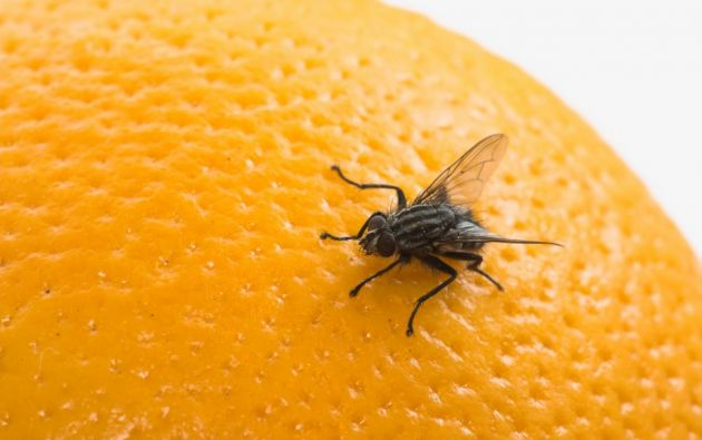 """La investigación identifica múltiples genes y regiones cerebrales en las moscas """"Drosophila"""", conocida como la mosca de la fruta, que estarían relacionados con el aprendizaje."""