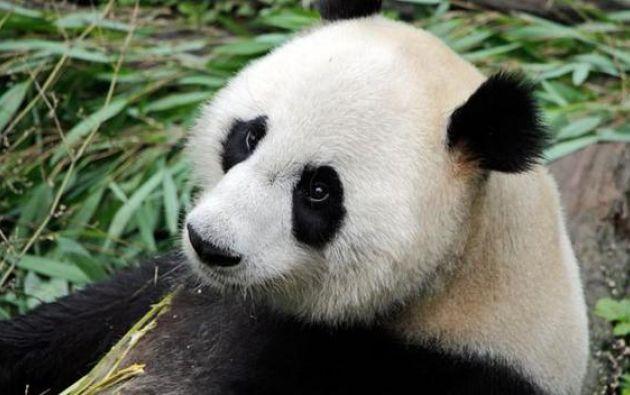 Este animal, que en estado salvaje solo puede encontrarse en China, corre peligro de extinguirse debido a la reducción de los bosques de montaña donde habita.