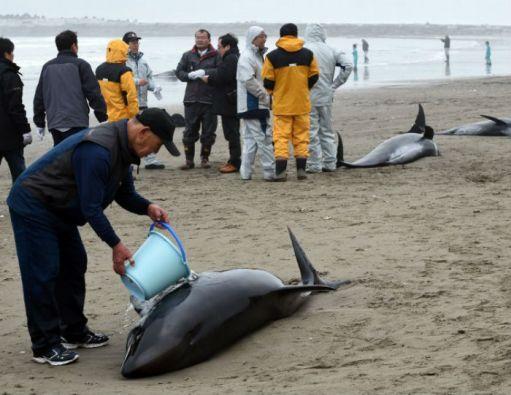 Algunos socorristas, con cubos de agua, intentaban evitar que la piel de los delfines se secara. Foto: AFP