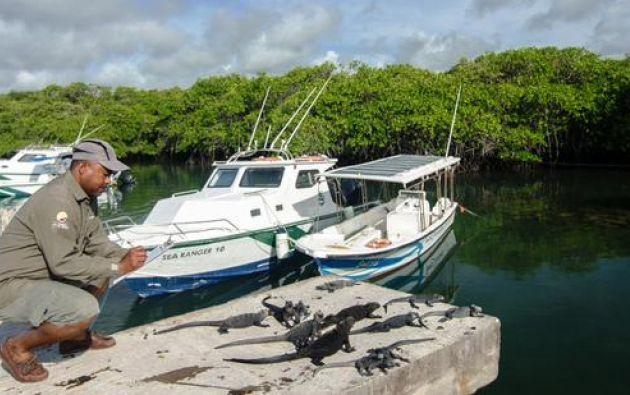 El estado de salud de las iguanas es evaluado en cinco niveles, de acuerdo al aspecto físico del animal. Fotos: MAE.