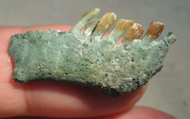 Una parte de la mandíbula derecha y dientes de este espécimen. Foto: Phys Org.
