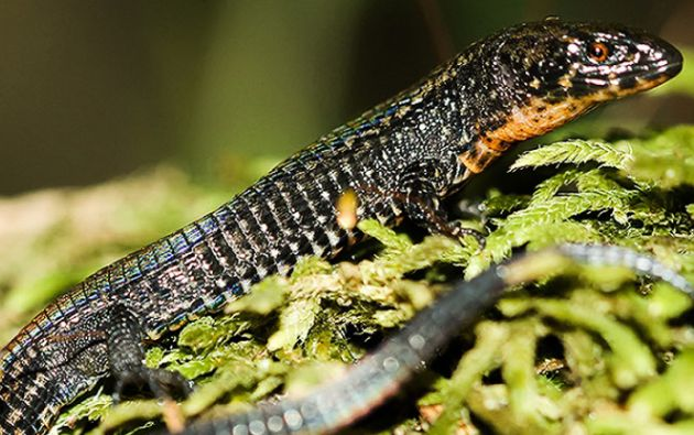 La nueva especie habita entre los 2.760 a 2.800 metros de altitud. Foto: Sernanp