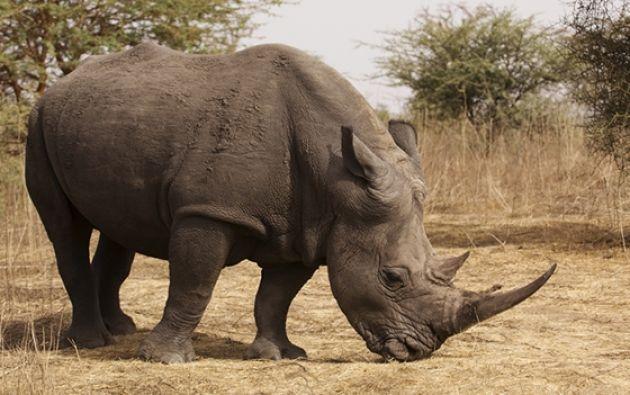 Las autoridades sudafricanas pusieron a cubierto a rinocerontes del parque Kruger en zonas especialmente protegidas.