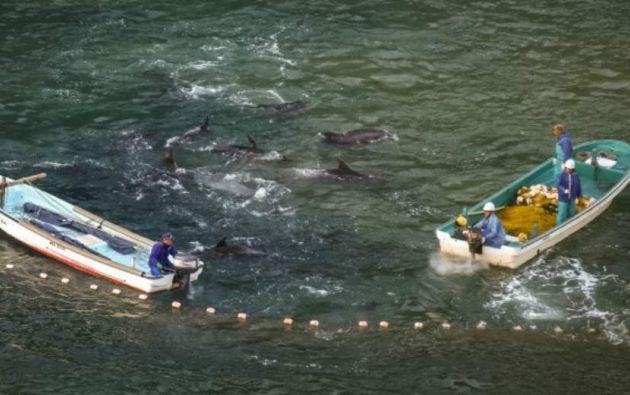 La WAZA tomó esta decisión a finales de abril después de que la Asociación japonesa de Zoos y Acuarios (JAZA) reafirmara su apoyo a la caza de delfines que se lleva a cabo cada año en la localidad de Taiji.