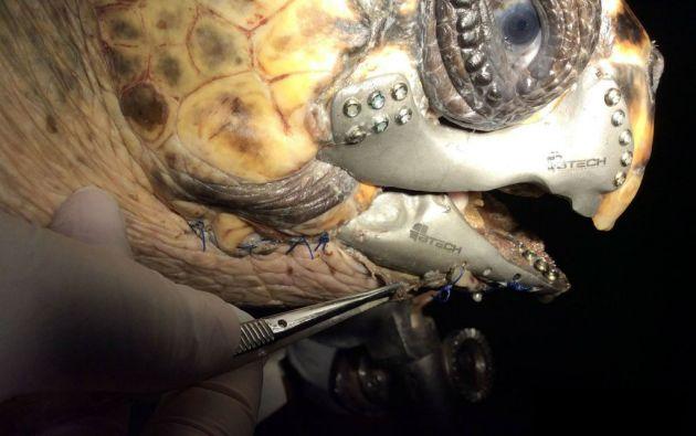 Akut-3, la tortuga que recibió el implante.