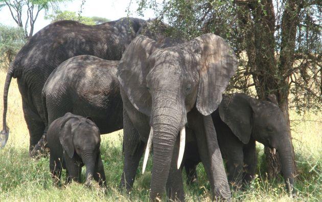 Según la ONG Elephants Without Borders, quedan 470.000 elefantes en libertad en África.