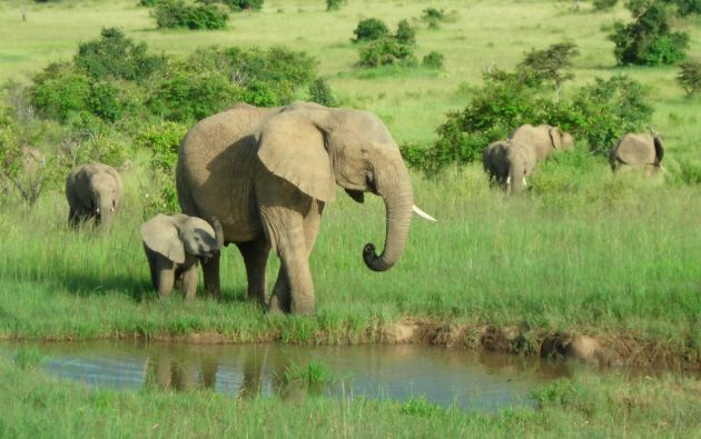 Según cifras gubernamentales de Tanzania, la población de elefantes se redujo de 106.051 en 2009 a 43.330 en 2014.