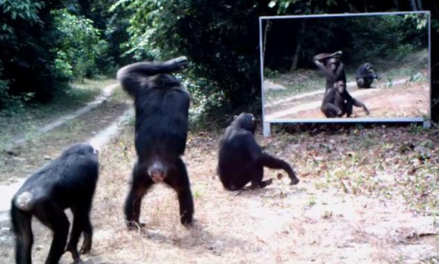 Los chimpancés se adaptaron a la presencia del espejo.